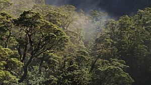 新西兰Fiordland(峡湾)的原始森林
