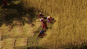 农妇在收割麦田(尼泊尔)
