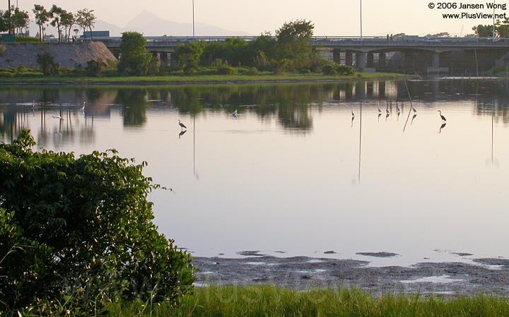 华侨城湿地北湖东部靠近中部的区域,湖的水位不高,白鹭都站在湖中央