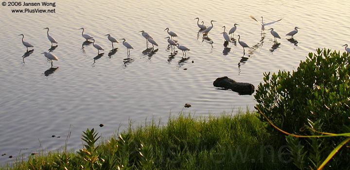 在华侨城湿地北湖北岸栖息的白鹭