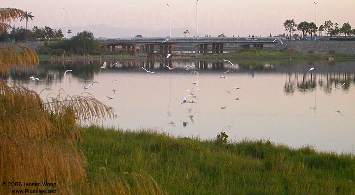 华侨城湿地北湖被惊起的白鹭