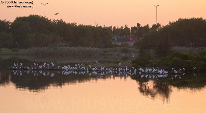 华侨城湿地北湖湖心岛东侧延伸部分停留的白鹭群