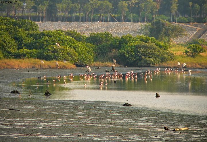 华侨城湿地北湖的东南角,滩涂上觅食的鸟类