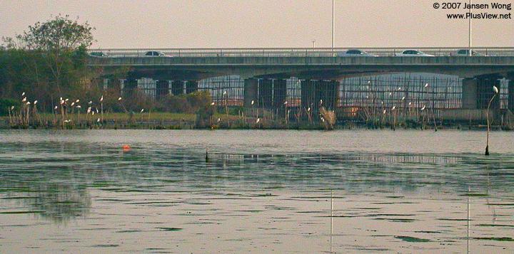 华侨城湿地北湖的南边靠近白石路桥处,40来只停在木桩上的白鹭