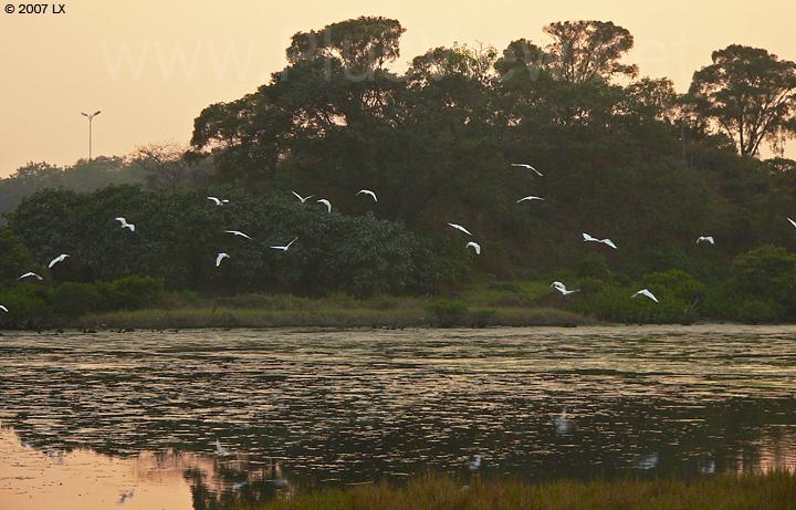 飞经华侨城湿地湖心岛北面白鹭群