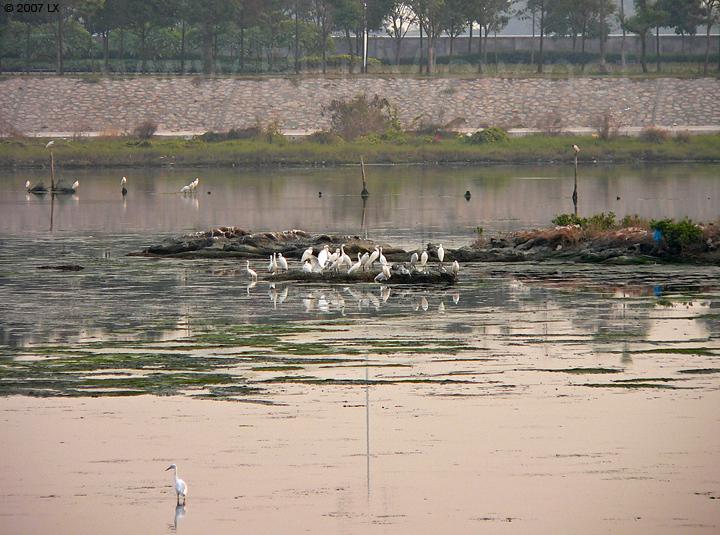 华侨城湿地北湖湖心岛东侧延伸部分及南面停留的大约30只白鹭