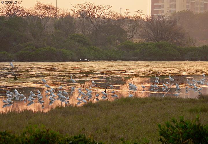 大约90只白鹭停留在华侨城湿地北湖的西部北岸边