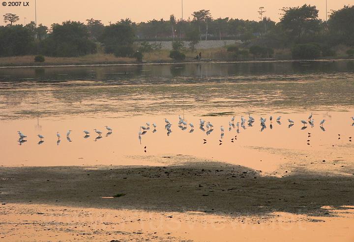 华侨城湿地北湖西部中央滩涂上的40来只白鹭