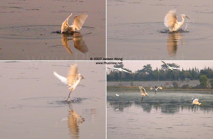 华侨城湿地北湖北岸岗亭附近抢鱼吃的白鹭
