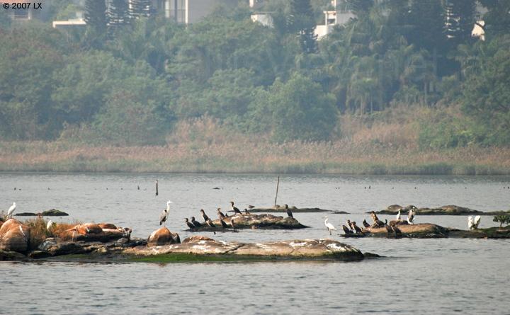华侨城湿地湖心岛南端延伸部分石头上停留的鸬鹚、白鹭及其他鸟类
