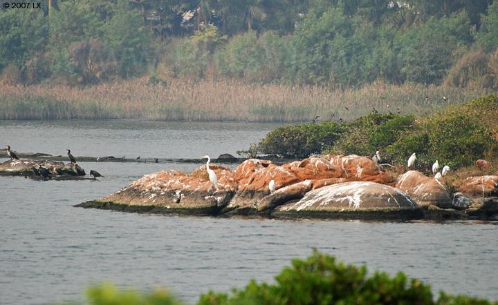 华侨城湿地北湖湖心岛南端延伸部分石头上停留的鸬鹚、白鹭及其他鸟类