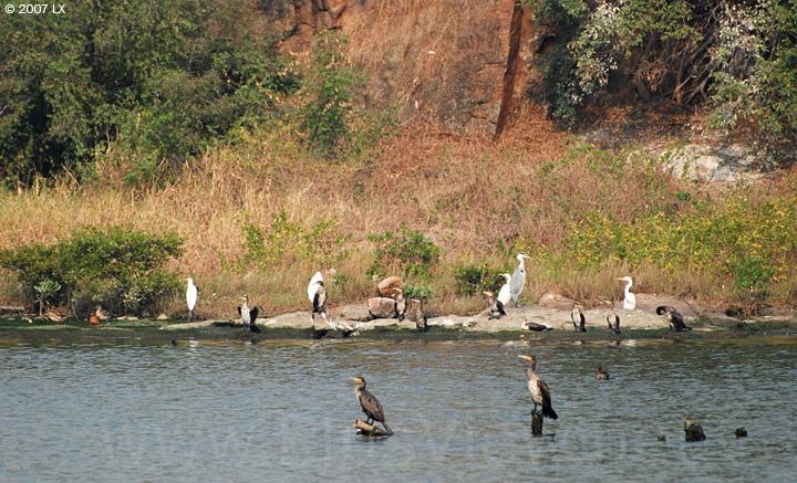 华侨城湿地北湖湖心岛南面上停留的鸬鹚、白鹭及其他鸟类