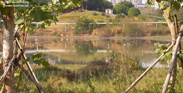 华侨城湿地北湖的东部偏中部分看到6只白鹭
