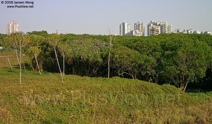 华侨城湿地北湖红树林