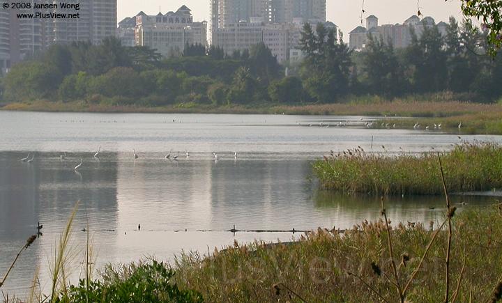 华侨城湿地北湖的西北部有30来只白鹭