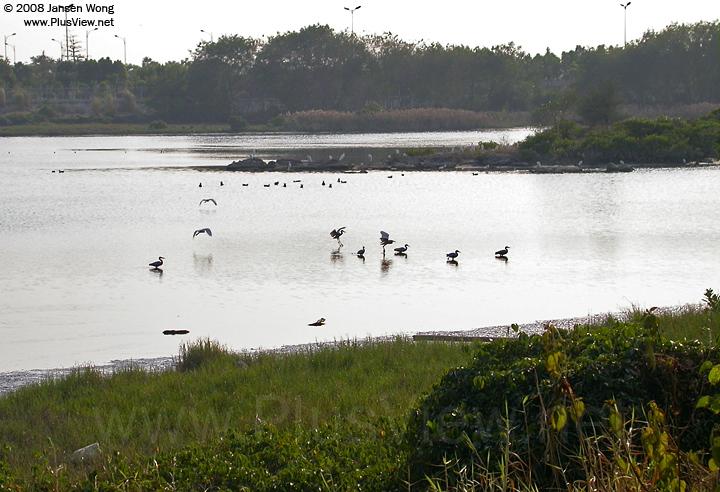华侨城湿地湖心岛东侧延伸部分及附近湖中有30多只白鹭和一些水鸟