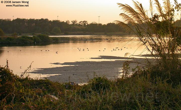 华侨城湿地北湖湖心岛西侧延伸部分以北的水中有约30只水鸟