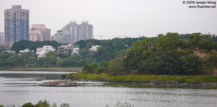 华侨城湿地湖心岛的西南侧看到10来只白鹭