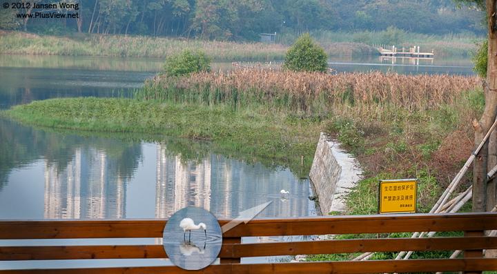 华侨城湿地北湖西端的水闸处一只白鹭在浅水处觅食