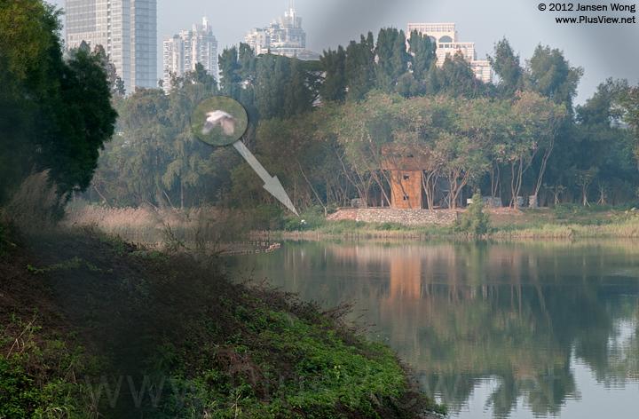 一只白鹭在华侨城湿地北湖北岸西端的观鸟屋前飞过