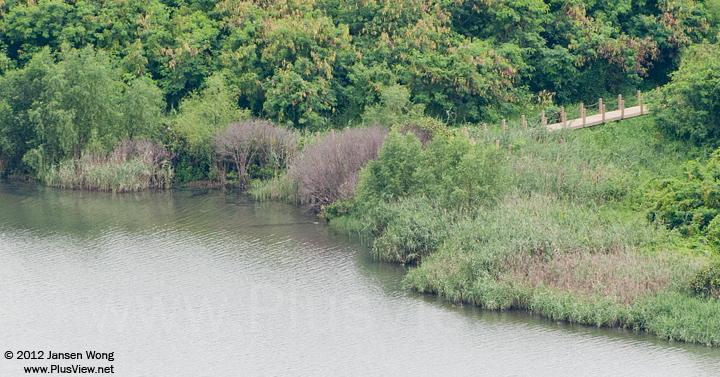 """华侨城湿地北湖""""亲水栈道""""旁几棵枯萎的红树"""