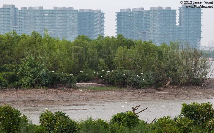 """深圳湾公园B区""""流花山""""北侧岸边栖息和觅食的白鹭"""
