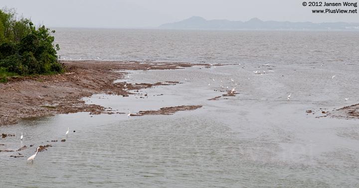 """深圳湾公园B区""""流花山""""北侧岸边滩涂上觅食的白鹭"""
