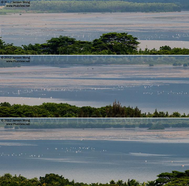 福田红树林自然保护区与香港米埔自然保护区之间的深圳湾,退潮期间,数百只白鹭在滩涂上觅食