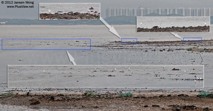 """深圳湾公园C区""""弯月山谷""""与""""日出露天剧场""""之间岸边滩涂上觅食的白鹭"""