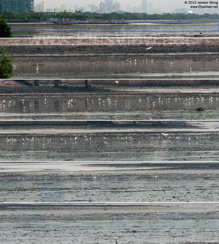 """深圳湾公园B区流花山以北约350米的岸边,从这个位置看A区""""北湾鹭港""""滩涂上觅食的白鹭"""