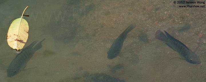 白石路桥底,华侨城湿地南北湖之间水域的鱼